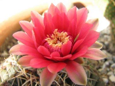 cactus+flowers+photos.+%u002525281%2529.jpg