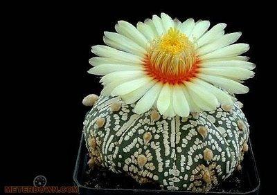 Cactus-Flower05.jpg