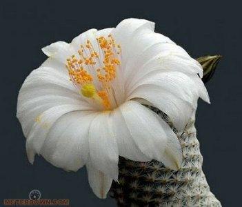 Cactus-Flower12.jpg