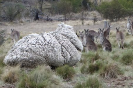 pecora-australia-Canberra.jpg