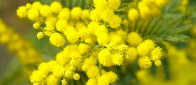 mimosa-765x383-1-905x395.jpg