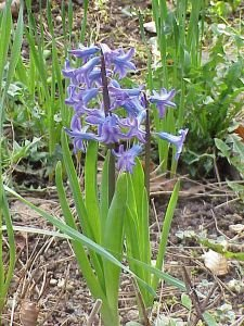 ukimi_kuzhina_bimwt-helmuese_hyacinthus_orientalis.jpg