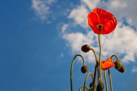 poppy-641423__340.jpg